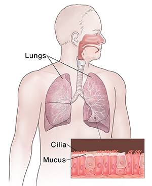 Front view of man showing respiratory system. Inset shows cilia and mucus.